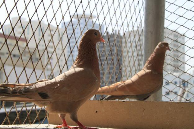 pakistani-pigeons